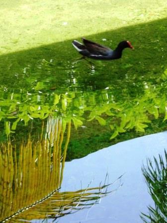 photographie poule d'eau 2